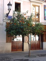 Orange trees in Valencia